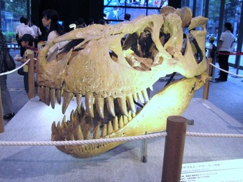 031タルボサウルス頭骨.JPG